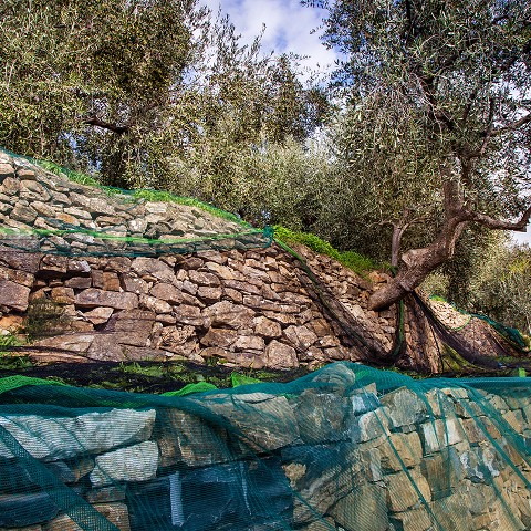 italian olive oil | curing olives uk | how long can you keep olives in brine?